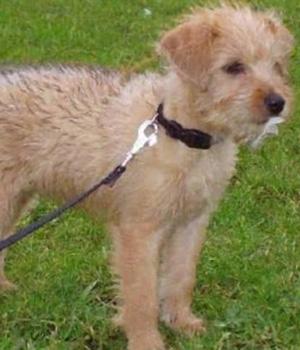 Голландский смаусхонд собака щенок фото