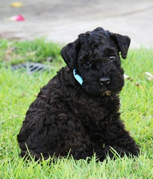 Керри-блю-терьер щенок фото