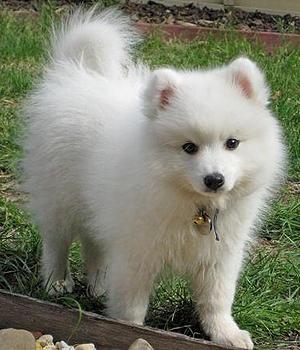 Японский шпиц щенок фото