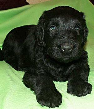 Русский чёрный терьер щенок фото