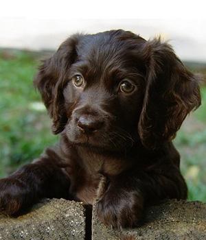 Бойкин-спаниель щенок фото