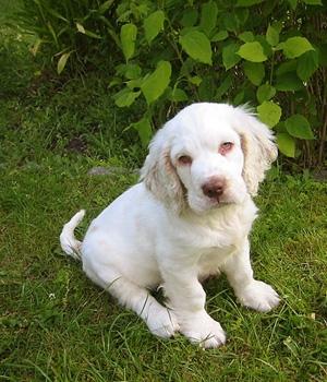 Кламбер-спаниель щенок фото