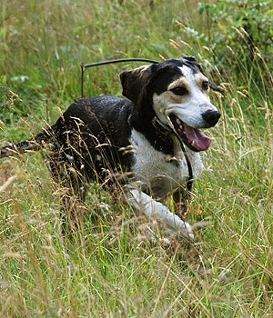 Дункер щенок фото