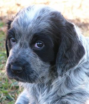 Голубой пикардийский спаниель щенок фото