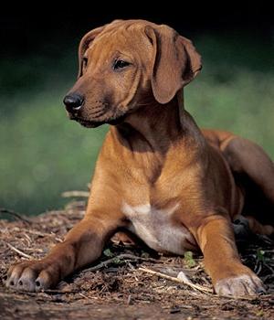 Родезийский риджбек щенок фото