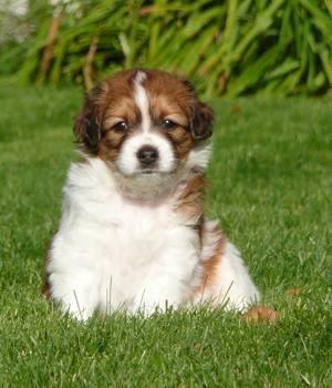 Коикерхондье щенок фото