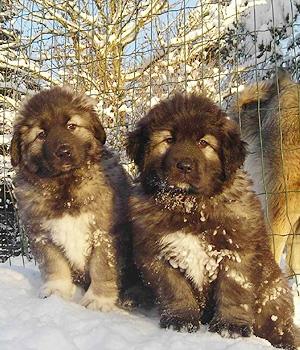 Кавказская овчарка щенок фото