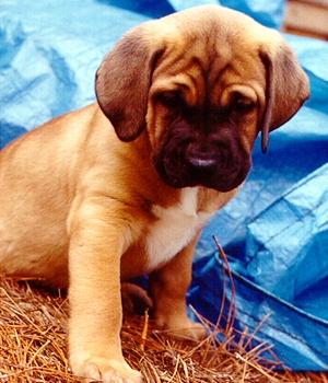 Тоса-ину щенок фото