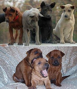 Тайский риджбек щенок фото