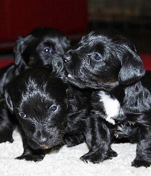 Чешский терьер щенок фото