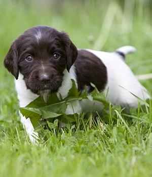 Малый мюнстерлендер щенок фото