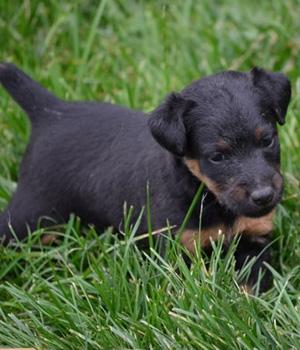 Немецкий ягдтерьер щенок фото