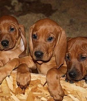 Красный кунхаунд щенок фото