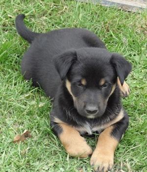 Австралийский келпи щенок фото