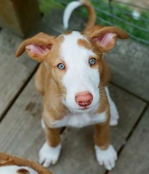 Ивисская собака щенок фото