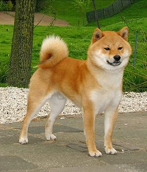 собака породы сиба-ину фото