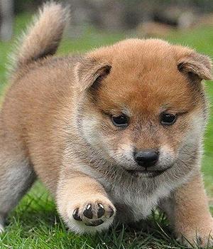 Сиба-ину щенок фото