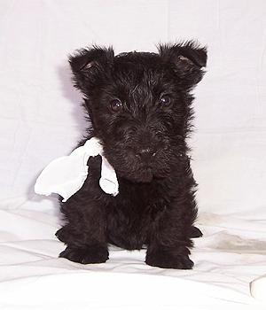 Шотландский терьер щенок фото