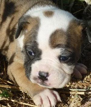 Алапахский чистокровный бульдог щенок фото