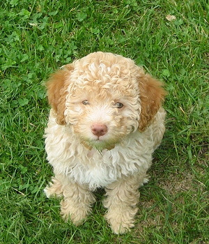 Лаготто романьоло щенок фото