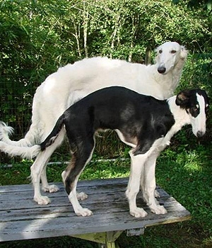 Русская псовая борзая щенок фото