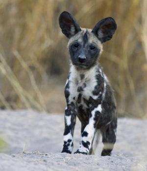 Гиеновидная собака щенок фото