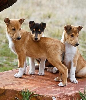 Короткошёрстный колли щенок фото