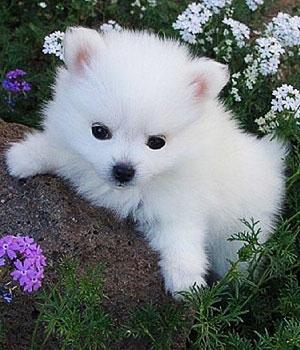 Американская эскимосская собака щенок фото