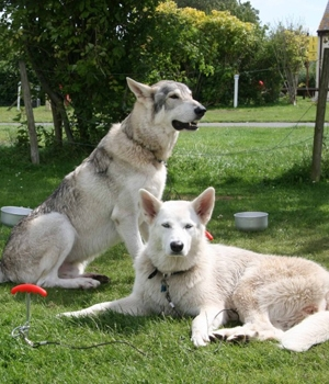 Северная Инуитская собака фото