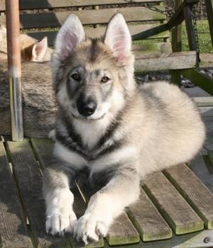Северная Инуитская собака щенок фото