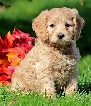 Кокапу щенок фото