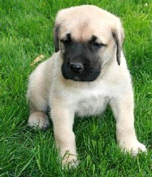 Английский мастиф щенок фото