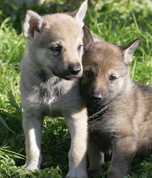 Волчья собака Сарлоса щенок фото