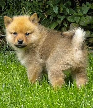 Финский шпиц щенок фото