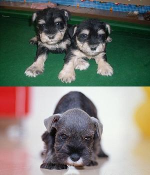 Миттельшнауцер щенок фото
