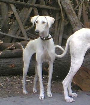 Караванная борзая щенок фото