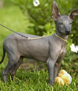 Голая собака инков щенок фото