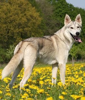 Тамасканская собака фото