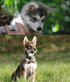 Тамасканская собака щенок фото