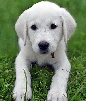 Акбаш щенок фото