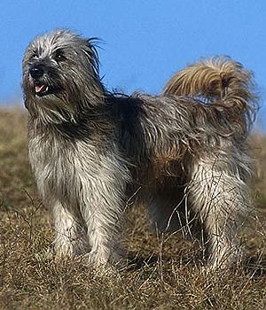 Пиренейская овчарка фото