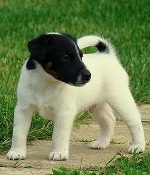 Гладкошёрстный фокстерьер щенок фото