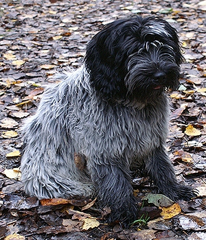 Скайтерьер щенок фото