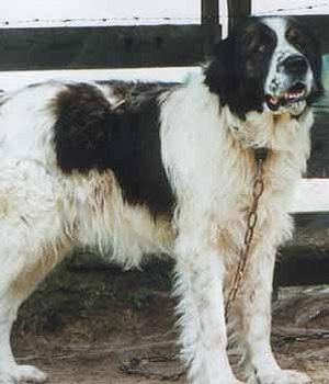 Буковинская овчарка фото