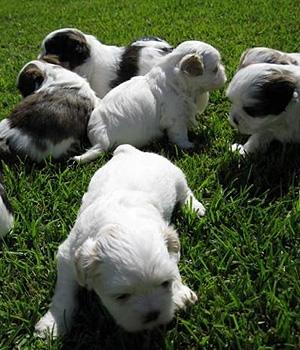 Буковинская овчарка щенок фото