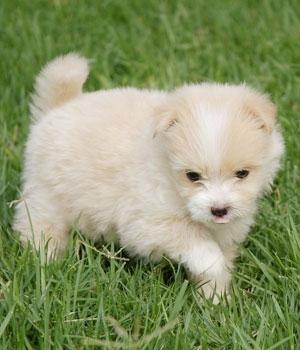 Мальтийская болонка щенок фото