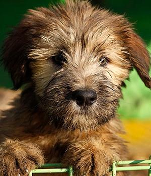 Сапсари щенок фото