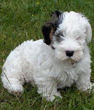 Силихем-терьер щенок фото