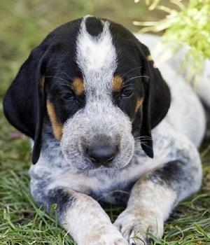 Крапчато-Голубой Кунхаунд щенок фото
