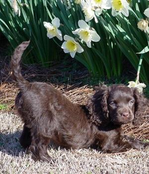 Ирландский водяной спаниель щенок фото